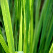 Read more about the article Lemongrass essential oil uses