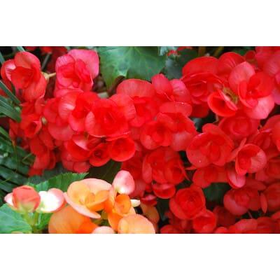 Pelargonium roseum