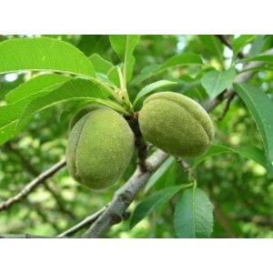 Sweet Almond Body Oil