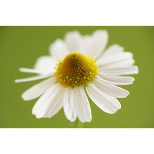 Chamomile Roman Essential Oil 5% in Jojoba Oil