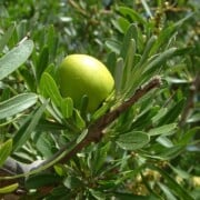 Read more about the article Organic Argan oil