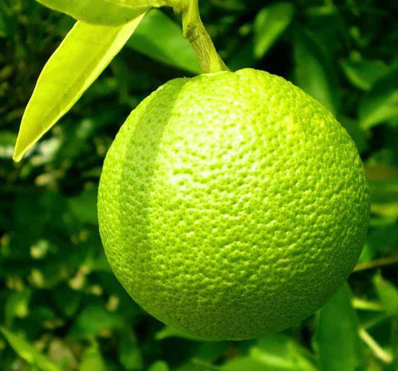 Citrus aurantifolia