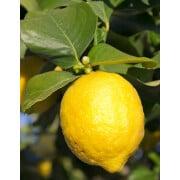 Zesty Citrus Essential Oil Blend