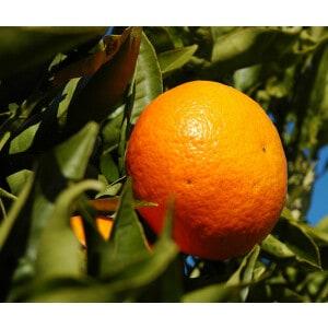 Mandarin Essential Oil Organic