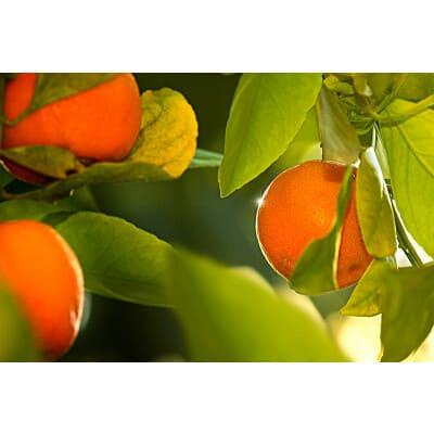 citrus sinensis