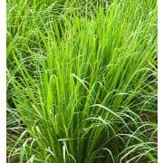 Lemongrass Essential Oil Wild Grown