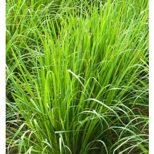 Lemongrass Essential Oil Wild Grown