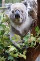 Eucalyptus and Koala