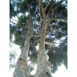 Eucalyptus Essential Oil Organic