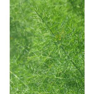 Fennel Essential Oil Organic