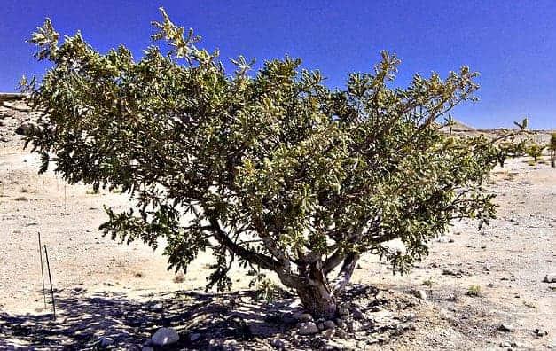 Frankincense Essential Oil Organic