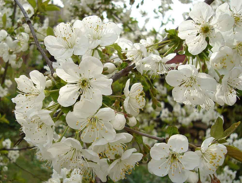 Jasmine essential oil uses