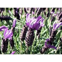 Lavender Angustifolia Essential Oil Organic