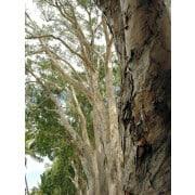 Tea Tree essential oil uses