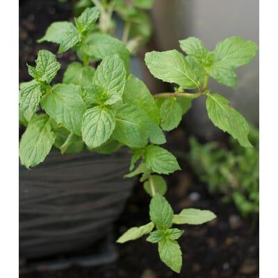 Menthe spicata