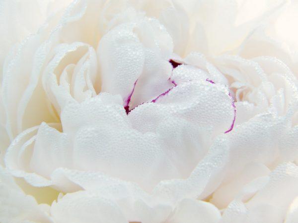 Peony cream to heal skin