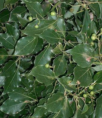 Ravensara aromatica