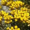 Recipes with helichrysum essential oil