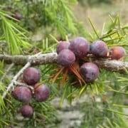 Recipes with juniper berry essential oil