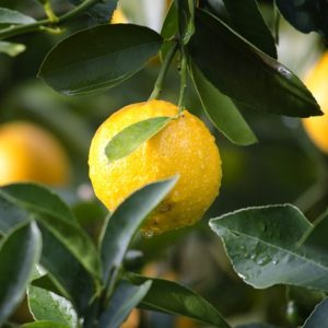 Recipes with lemon essential oil