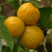 Recipes with neroli essential oil