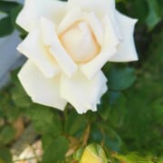 Recipes with Rose Essential oil