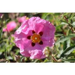 Organic Rock Rose Essential Oil