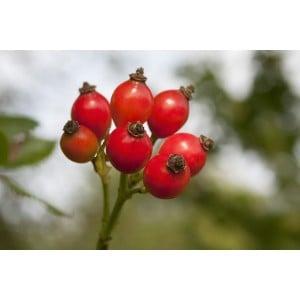Rosehip Body Oil Organic
