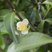 Tea tree oil in a diffuser