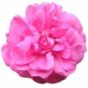 testimonials-pink